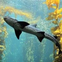 kelp-live-cam-monterey-bay-aquarium