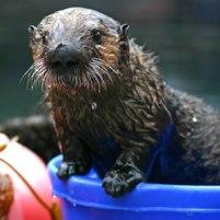 otter-live-cam-monterey-bay-aquarium