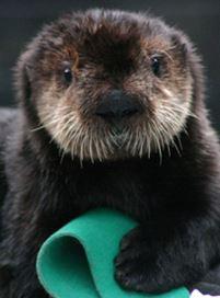sea-otter-uplcose