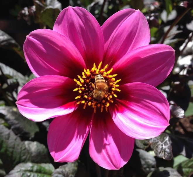 beeonpinkflower2